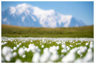 Fleurs linaigrettes Mont Blanc